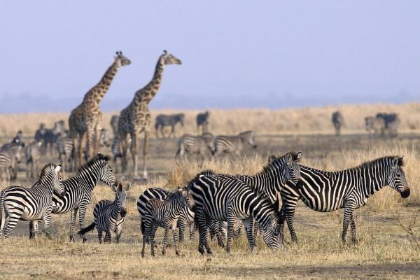 Chada-Katavi-Zebra-Giraffe-Tanzania-600-400