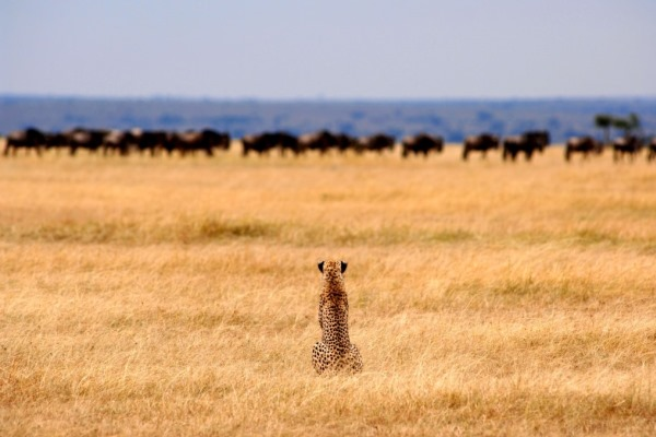 Cheetah-wildebeest-Serengeti-Safari-Camp-Tanzania-@NomadTanzania-600-400