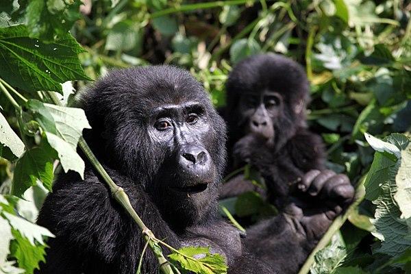 Gorilla-Ug-4