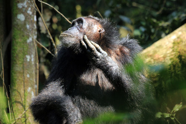 kibale-national-park-chimp