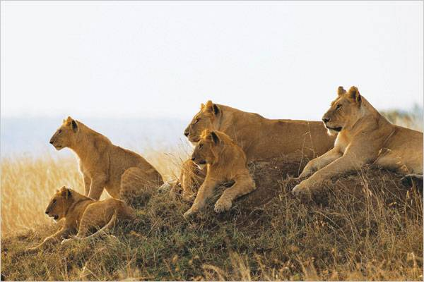 lions_on_hill