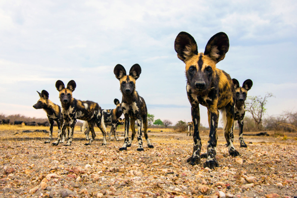 selous-national-park-wild-dogs-