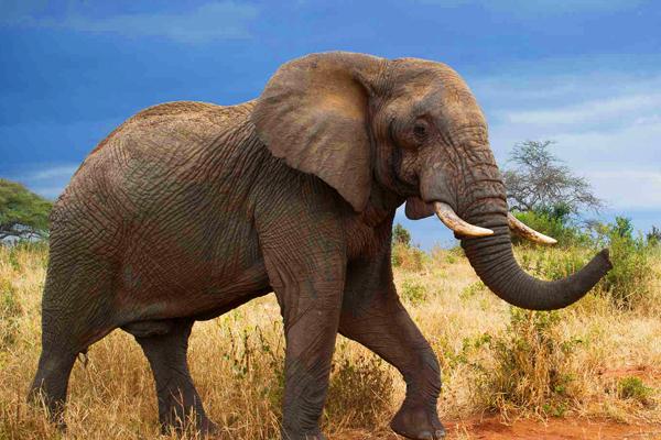 tarangire-national-park-elephant