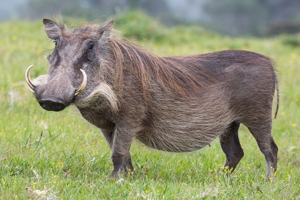 warthog-4