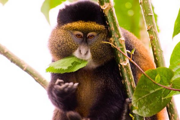 wildlifegolden-monkey