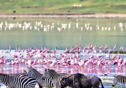 Zebras-and-wildebeests-walking-beside-the-lake-in-the-Ngorongoro-Crater-Tanzania-500x500